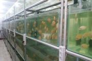 کارآفرینی در عرصه پرورش ماهی زینتی