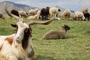 کارآفرینی که قید مهندسی نقشه کشی را زد و گله دار گوسفند شد