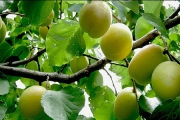 کاهش ۵۰ درصدی قیمت زردآلو تا خرداد