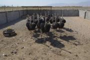 ظرفیت مناسب سیستان و بلوچستان برای پرورش شترمرغ