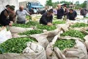 95 میلیارد تومان از مطالبات چایکاران پرداخت شده است