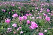 ایران در کشت گل محمدی مقام اول را دارد
