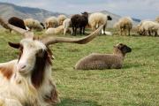 پرورش بز و گوسفند محلی، فرصتی مناسب برای کسب درآمد