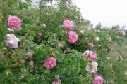 اشتغالزایی پزشکی که به باغ گل محمدی اش معروف است